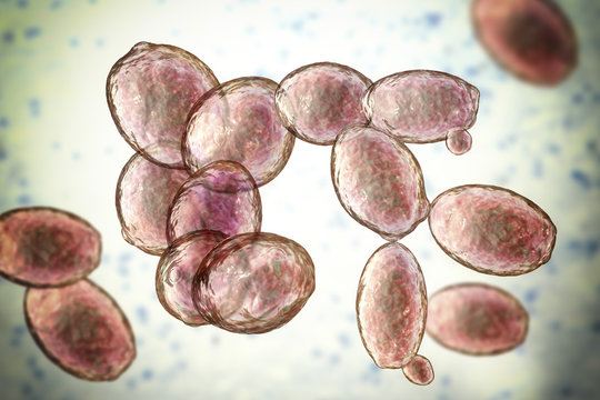 Saccharomyces cerevisiae yeast, 3D illustration. Microscopic fungi, baker's or brewer's yeast, are used as probiotics to restore normal flora of intestine
