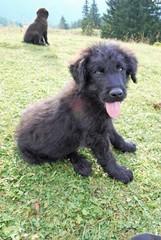 Adorable look of a sheepdog puppy
