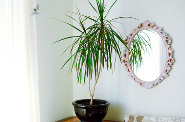 Dracaena reflexa in the pot. Modern interior of a living room.