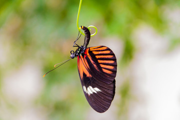 Close-up of a beautiful Postman a tropical butterfly with a warm soft-focus color background september 10, 2018