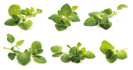 Fototapeta Oregano (Origanum vulgare herba), fresh leaves has high antioxidant properties of the drug. isolated on a white background. obraz