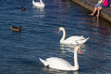 a flock of swans scrambling over food on a river
