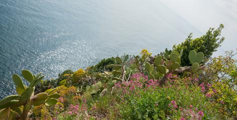 Large opuntia cactus growing wild amongst wild flowers on top of hill overlooking Mediterranean sea
