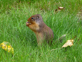 Cute brown squirrel nibbling in the green grass surrounded by fallen leaves, Canada