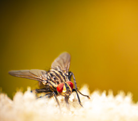 the common fly