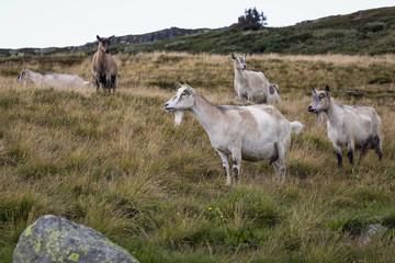 Goats on the meadow. Was seen in Jotunheimen, Norway