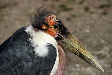 Portrait of large wading bird marabou stork (Leptoptilos crumenifer)