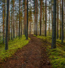 Keuken foto achterwand Olijf Pine forest early autumn morning. Leningrad region, Kirovsky district.