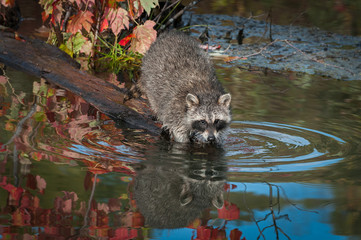 Fotomurales - Raccoon (Procyon lotor) Looks Up From Water