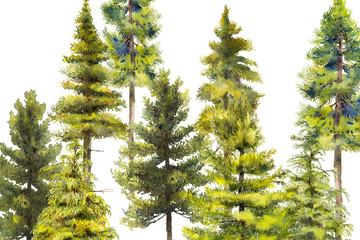 pines and conifer watercolor