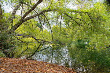 Tree branches with leaves reflecting in the lake