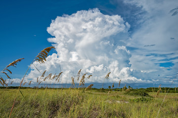 Sea oats blowing in front of cumulus clouds
