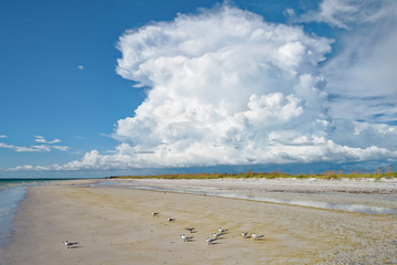 Sandwich terns on the beach ignorant of the cumulus cloud