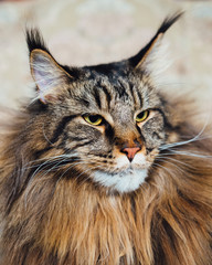 Wall Mural - Maine Coon cat, close-up view