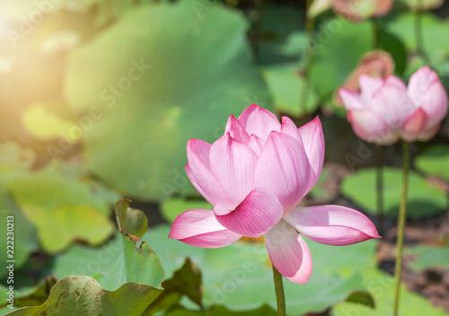 Close Up Pink Lotus Flower Or Sacred Lotus Flower Nelumbo Nucifera