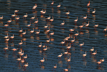 Lesser flamingos. Scientific name: Phoenicoparrus minor. Flamingos on the water of Lake Natron at sunset. Aerial View.