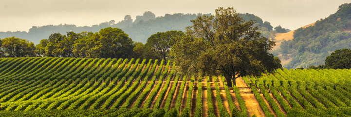 Spoed Fotobehang Wijngaard Panorama of a Vineyard with Oak Tree., Sonoma County, California, USA