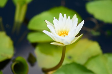 White Lotus flower  in the peaceful pond.