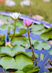 Pink and White  Lotus flower  in the peaceful pond