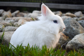 Cute white dwarf bunny playing in the grass outside