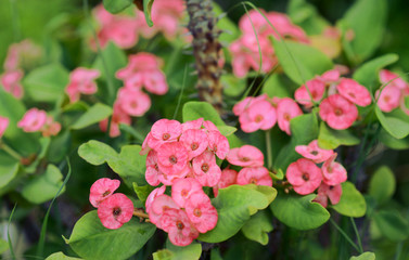 Cluster of Euphorbia milli or Crown of thorns plant