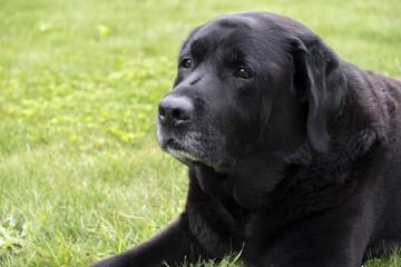 Labrador portrait. Outdoor