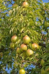 Birnen am Baum zur Erntezeit