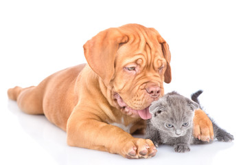 Playful bordeaux puppy embracing tiny kitten. isolated on white background