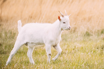 Kid Goat Grazes In Spring Grass. Farm Baby Animals