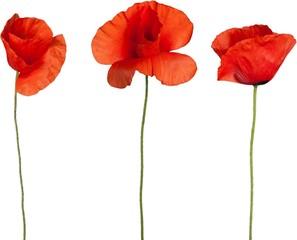 Obraz Red poppy flowers - isolated - fototapety do salonu