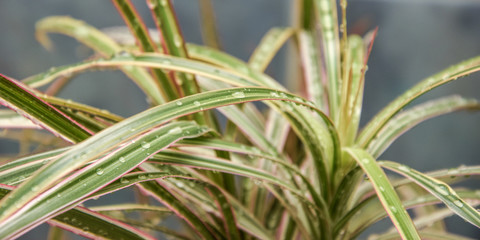 Dracaena plant with drops of water on the leaves in the bath.