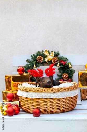 pig piglet little black basket wicker cute Vietnamese breed new year happy Christmas tree horns deer
