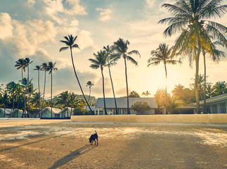 Dog walks on a sandy beach and palm trees on the background of the colourful sunset sky on a tropical island