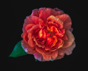 Colorful fine art still life floral macro image of a single isolated glowing wide open rose blossom and a green leaf,black background,detailed texture, surrealistic vintage fantasy painting style