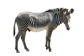 Photo sur Plexiglas Zebra zebra isolated on white