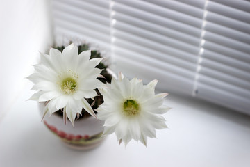 Flowering white flowers prickly cactus on a white window sill.