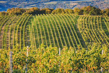 Rows of grapevines during summer period in beautiful wine-growing district in Vieanna