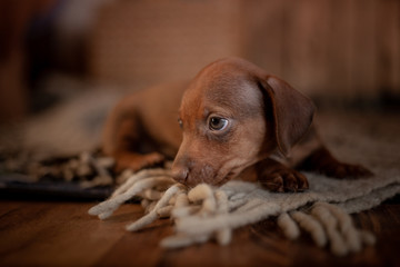 Puppy dachshund of brown color stands on a coverlet with a pattern next to a wicker basket against a wooden wall