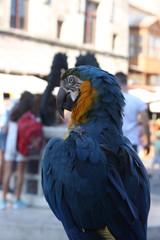 Tropical bird - blue Parrot