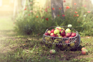 rural harvesting/ different varieties of apples in a basket on the lawn in the garden