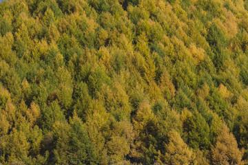黄葉の樹々