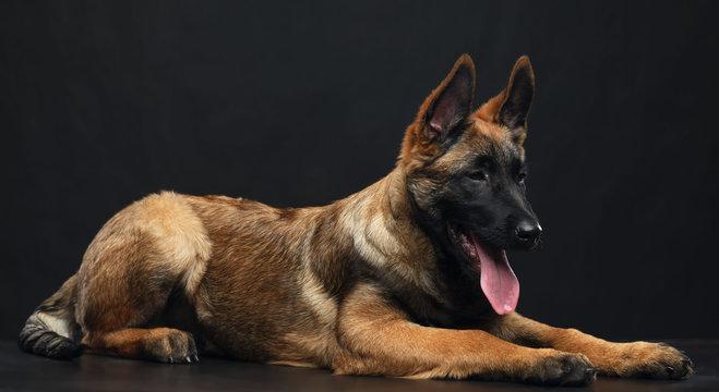 Belgian Shepherd Dog, malinois dog on Isolated Black Background in studio