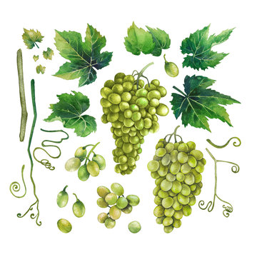 Watercolor bunches of white grapes, green leaves and branches