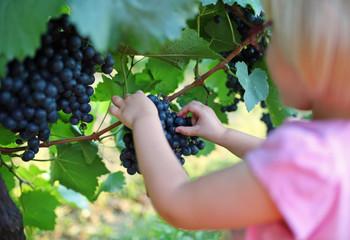 Child picking grape from branch in vineyard