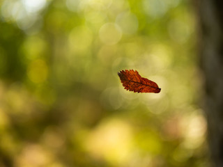 Single brown dry leaf falling down from tree in forest. Green and bright background.