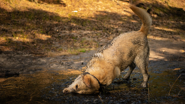 White labrador rolls in mud puddle.