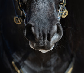 Fototapete - Nose of Spanish horse in dark colors.