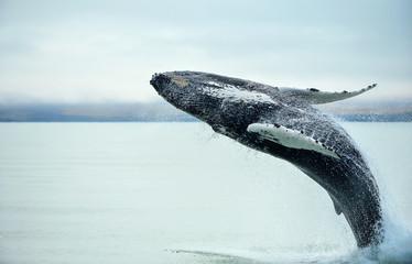 Humpback Whale (Megaptera novaeangliae) breaching near Husavik City in Iceland.