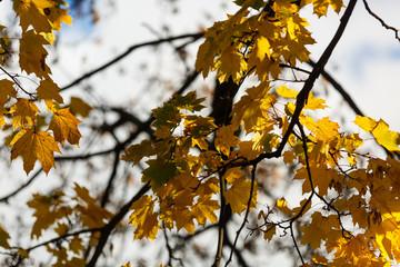 yellow tree, autumn background