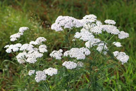 Achillea millefolium. Yarrow in late summer in the meadow